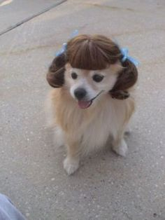 This dog pulls the wig look perfectly lol
