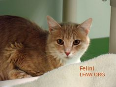 Felini BREED: DSH Buff ESTIMATED BIRTH DATE: 10/2012 GENDER: Female I was found by an elderly couple who already had a full house. I was pregnant and they just couldn't take on me and my babies. I was placed in a foster home until my babies were old enough to be adopted. I am an active girl and love to investigate everything. I love to play with toys and I'm interested in everything going on. I don't really care to be held. I am more of a four on the floor kind of gal.