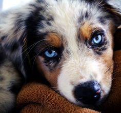 Australian Shepherd Puppy hasssss the prettiest eyes!