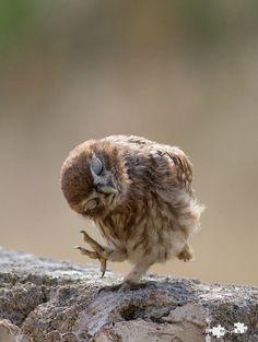 baby owl via softness