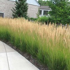 Calamagrostis 'Karl Foerster' In the event you really don't find out about Perennials, then they are perennial plants that grow. Privacy Plants, Privacy Landscaping, Low Maintenance Landscaping, Low Maintenance Garden, Hedges For Privacy, Landscaping With Grasses, Farm Landscaping, Wisconsin Landscaping Ideas, Curb Appeal Landscaping