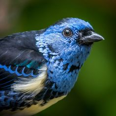 Turquoise Tanager in the San Diego Zoo, by Craig Chaddock