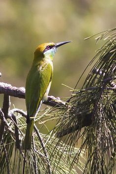 Indian Bee Eater - This bee eater was spotted in the college campus at NID, Ahmedabad in this summer.