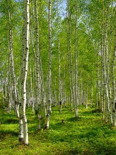 green birch