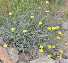 Launaea aborescens Medicinal Plants, Native Plants, Flora, Plants, Healing Herbs, Herbs
