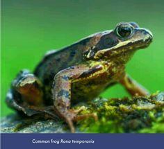 Common uk frog