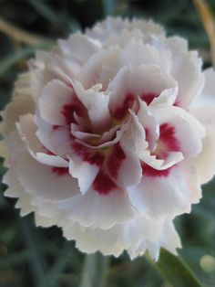Pretty Ruffled Dianthus Flowers