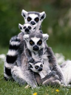 Lemur family -- [REPINNED by All Creatures Gift Shop]