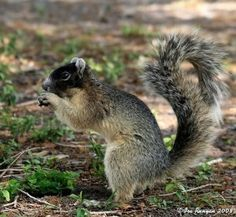 """Sherman's Fox Squirrel (fox squirrel subspecies Sciurus niger shermani) Sherman's Fox Squirrel occurs in peninsular Florida to the north end of Lake Okeechobee, and is more than twice the size of the common gray squirrel. It is probably destined for eventual """"endangered"""" status. Fox squirrels are selective in their habitat needs. They depend mostly on pine seeds for food in the summer and on acorns during the remainder of the year."""
