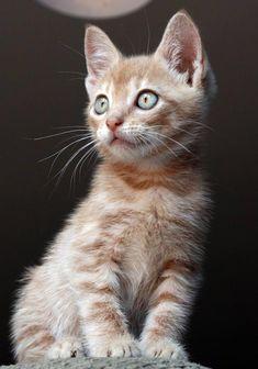 orange kitten - awww baby!