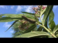 Tropical milkweed and Monarch butterflies - YouTube