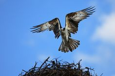 Nate Zeman.An osprey brings a stick back to its nest. Ospreys are one of the most widespread birds in all of the world, found on all continents except Antarctica. Their diet is made up of almost exclusively fish.