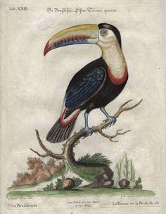 Brazillian Toucan - John Seligmann -  1749-1776