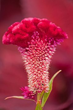 ~~ Celosia ~~also called a cock's comb This brings back memories of my mom and grammy.  They always had these beautiful flowers.