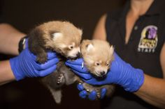 Denver Zoo welcomed the birth of two Red Pandas on June 6. The female cubs, named Lali and Masu, are currently in a nesting box and are being cared for by their mother, Faith. Check out ZooBorns to learn more and see more! http://www.zooborns.com/zooborns/2016/07/sweet-red-panda-sisters-at-denver-zoo-.html