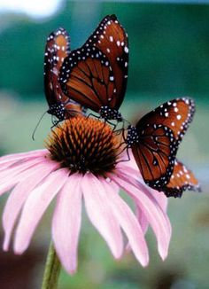 Coneflowers Are Butterfly Magnets