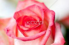 Close-up Pink Rose - Close-up shot of a pink rose.