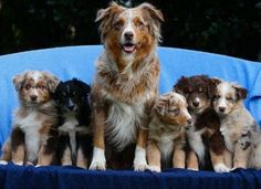 Australian Shepherd mama with her litter.