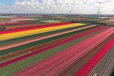 Auf Blumenzwiebeltour durch die Niederlande - Fluwel's Tulpenland - Tulpenfelder