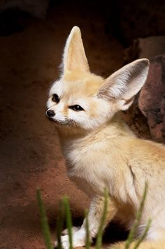 fennec fox full grown - Google Search | It's so Fluffy ...