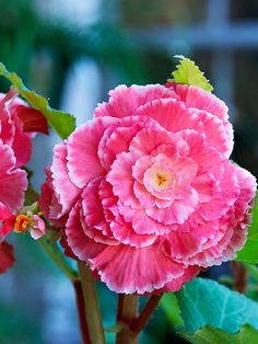 The most glamorous bulb for shade, tuberous begonia produces gorgeous roselike summer flowers in a wide range of shades. Find more of summer's best bulbs here: http://www.bhg.com/gardening/flowers/bulbs/summer-bulbs/?socsrc=bhgpin031915tuberousbegonia&page=7