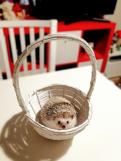 Sierra's look-alike Hedgehog.  A cute little package with 2 black eyes - a nose and there's a mouth somewhere!