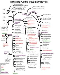 Instant Anatomy - Upper L imb - Nerves - Skin - Specific - Brachial plexus Gross Anatomy, Anatomy Study, Upper Limb Anatomy, Nerve Anatomy, Medical Anatomy, Human Anatomy And Physiology, Muscle Anatomy, Occupational Therapy, Physical Therapy Student