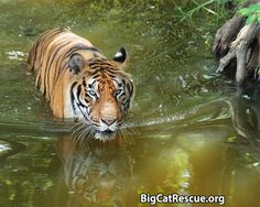 Hoover Tiger absolutely LOVES Tiger LakeWatch Hoover on live web cam at BigCatCams.com
