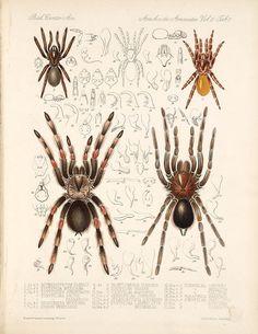 Arachnida Araneidea by Smithsonian Libraries, Nature Illustration, Retro Illustration, Illustrations, Scorpion Image, Street Art, Insect Art, Dictionary Art, Monster Art, Vintage Artwork