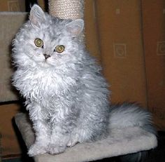 Another Selkirk Rex