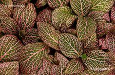 Hálóslevél Cactus Plants, Cacti, Cactus
