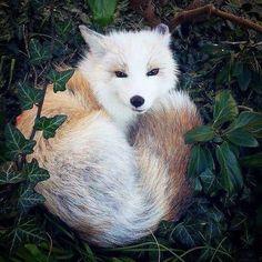 Yuna, the domesticated white marble fox.