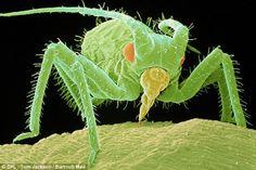 Uma pulgão (greenfly)