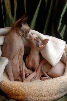 kissing Sphinx cats