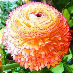10pcs a Bag Ranunculus Flower Bulbs, (not Ranunculus Seeds),Ranunculus Flower Bulbs Perennials Bulbos De Flores Jardinagem