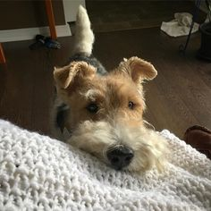 🐶To be featured👉 #wiremoments Fro Fox Terriers, Wirehaired Fox Terrier, Welsh Terrier, Wire Fox Terrier, Airedale Terrier, A Cartoon, Happy Dogs, Happy Thoughts, Best Dogs
