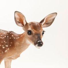 Deer Photos, Deer Pictures, Cute Animal Pictures, Cute Wild Animals, Animals Beautiful, Nature Animals, Animals And Pets, Photo Animaliere, Deer Family