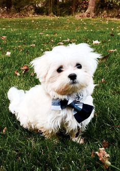 Tucker the maltese puppy wearing a bowtie because he is CLASSY #Maltese