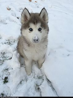 Siberian Husky Puppy Dexter ::: Visit our poster store Rover99.com
