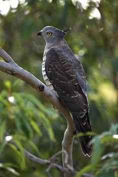 El baza australiano2 (Aviceda subcristata) es una especie de ave accipitriforme de la familia Accipitridae autóctona de Australia y otras islas próximas, como las Molucas, Nueva Guinea e islas Salomón.