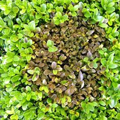 Over the past few weeks we have watched in horror as our hedges have succumbed to the dreaded box blight. http://www.harrodhorticultural.com/kitchen-garden-blog-the-dreaded-box-blight-pgid1754.html