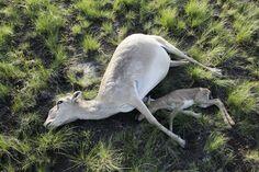 De voorbije weken zijn er meer dan 120 000 saiga-antilopen gestorven in Kazachstan.