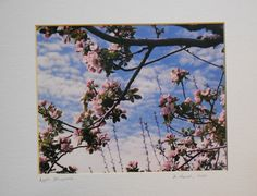 This film photo called Apple Blossoms celebrates by dahurst555, $35.00