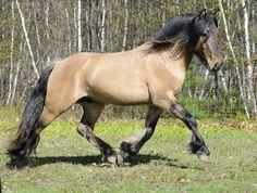Beautiful colored buckskin/dun horse