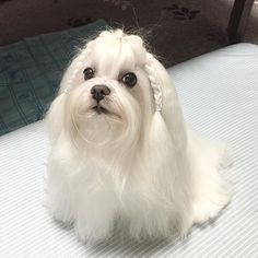 🐶🚿遅い時間だけど、 シャンプーしました〜😅 目を開けて寝てる恐ろしい まみじゃないでしゅよー(笑🐶💦😂 おやすみなさいー💤💤💤 #いぬら部 #犬のいる暮らし #pet #pets #petlove #cute #malteselove #犬 #dog #マルチーズ #maltese  #犬バカ部 #白い犬 #dogstagram #マルチーズチャピまみ  #malteseofinstagram #遅くにシャンプー #愛犬