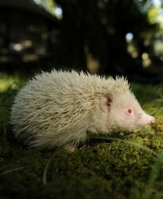 PALE AND PRICKLY  Maybe white is a lucky color, because this albino hedgehog had fortune on his side. He was discovered at a 2014 Winter Olympics construction site and transported to a Russian botanical garden where he now has free roam.