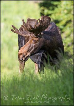 Bull Moose - I saw a moose in the Tetons - in a swamp eating....caused a traffic jam!