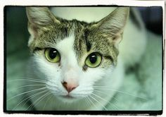 Tori - DSH - White and Tabby - Love people so much that she makes biscuits everywhere!
