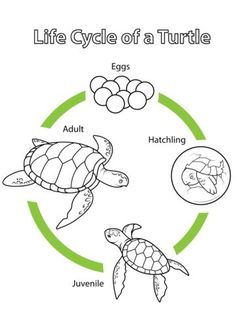 Life Cycle of a Turtle coloring page from Biology category. Select from 20946 printable crafts of cartoons, nature, animals, Bible and many more.
