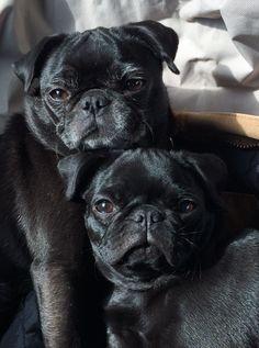 Cozy black pugs